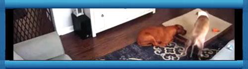 VIDEO: Un perro ofrece su camita a otro perro que es su amigo y está enfermo. Como dicen por ahí, deberíamos aprender más de la nobleza de los animales, y el perro de este video lo demuestra...           cubademocraciayvida.org                                                                                                                                                                                                                  web/folder.asp?folderID=136